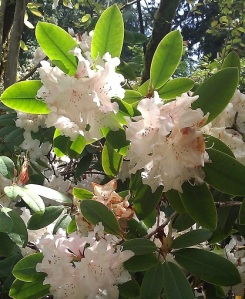 May in Seattle; rhododendrons in Washington Park Arboretum